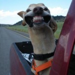 smiling-dog-back-of-pick-up-truck